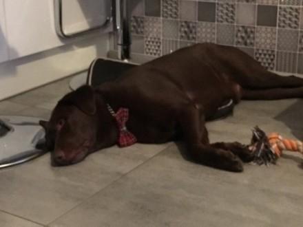 CJ - czekoladowy labrador szuka nowego domu