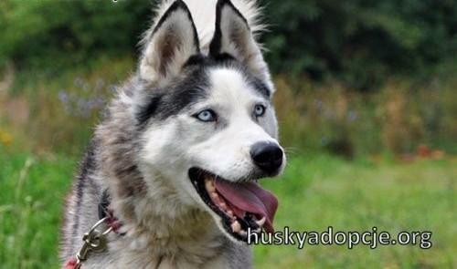 TROY- młody i spokojny pies husky do adopcji   dolnośląskie Wrocław