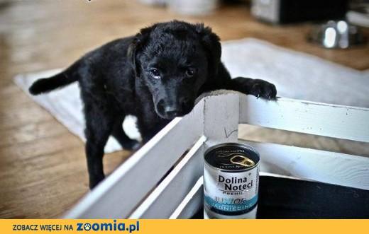 FLAP 8 tygodniowy szczeniak czeka na dom!,  mazowieckie Warszawa
