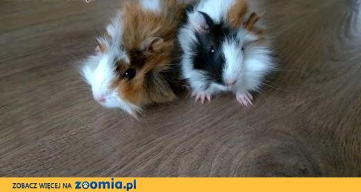 Dwie małe świnki morskie! Rozetki trójkolorowe. ,  mazowieckie Piaseczno