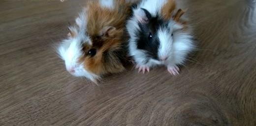 Dwie małe świnki morskie! Rozetki trójkolorowe    mazowieckie Piaseczno