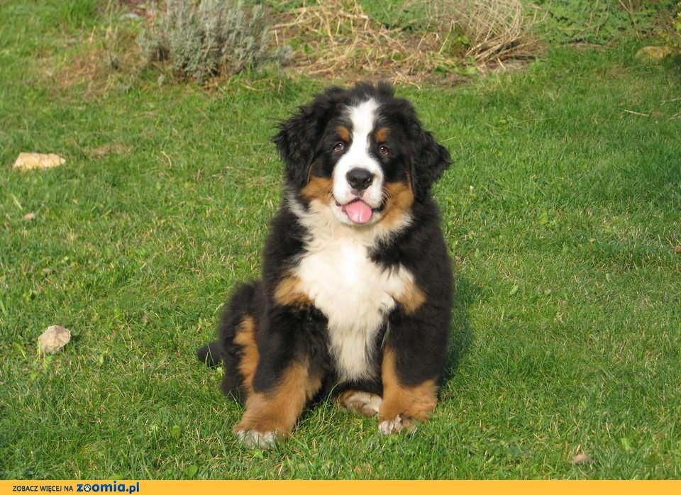 Berneński pies pasterski -szczeniaki po championach