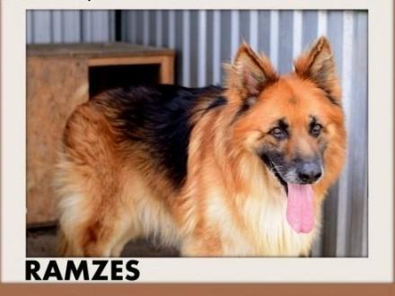RAMZES owczarek mix uratowany pies do domu z ogrodemADOPCJA   wielkopolskie Poznań