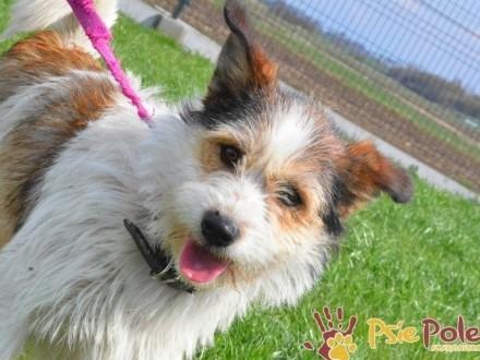 BARWINEK-Fajniutki uroczy trikolorowy psiak szuka kochającego domu  adopcja