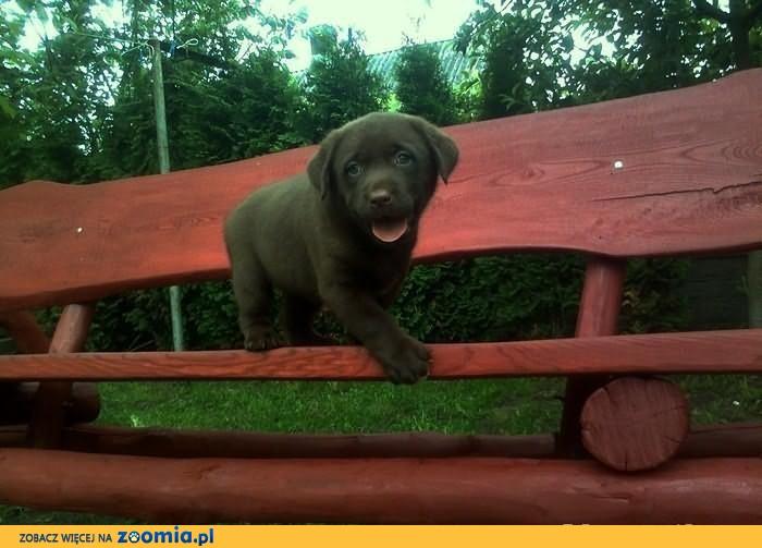 Labradory czekoladowe szczenięta rodowód maz.