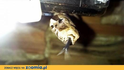 Sprzedam węże Boa Constrictor TERRARIUM GRATIS,  wielkopolskie Poznań