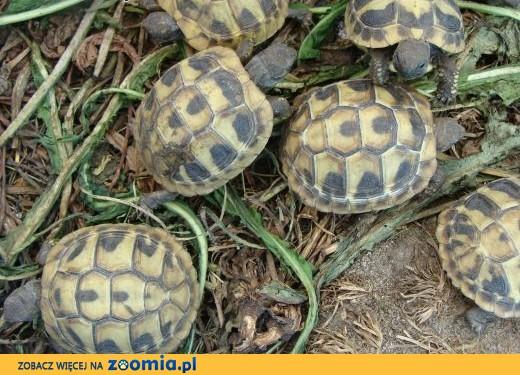 żółw grecki, stepowy, obrzezony,  śląskie Jaworzno