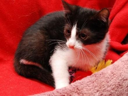 Kociak Spike śliczny kocurek szuka kochającego domu!   wielkopolskie Poznań