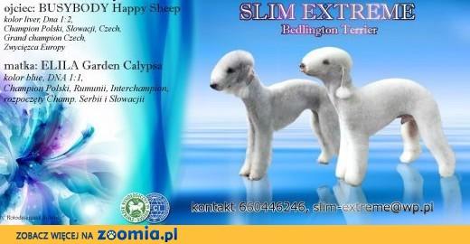 Bedlington Terrier po ZWYCIĘZCY EUROPY,  podkarpackie Krosno