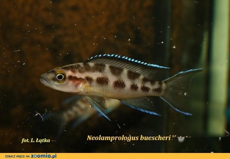 Neolamprologus buescheri Katoto