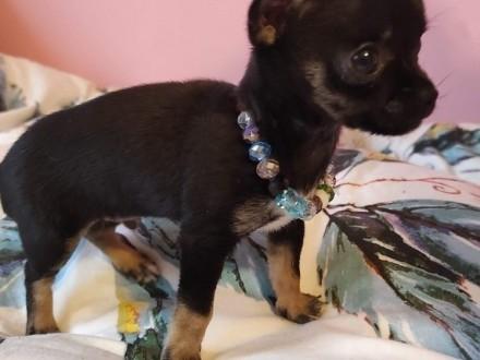 Sprzedam maleńkiego chłopca chihuahua
