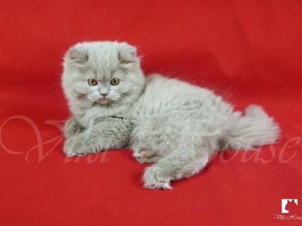 Kocięta Brytyjskie Długowłose po utytułowanych rodzicach WCF