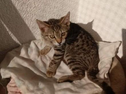 Koteczka Frania szuka domu