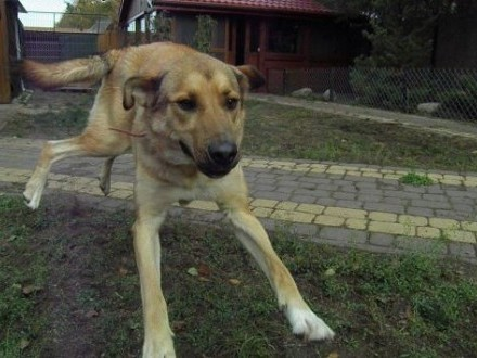 Maciek duży i energiczny młody pies   łódzkie Łódź
