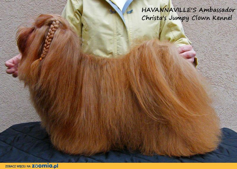 HAWAŃCZYK rasowe szczeniaczki hawańczyki z legalnej hodowli FCI_ZKwP