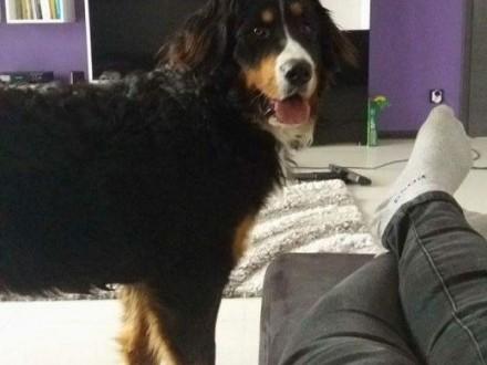 Sprzedam roczna suczka berneński pies pasterski    podlaskie Łomża
