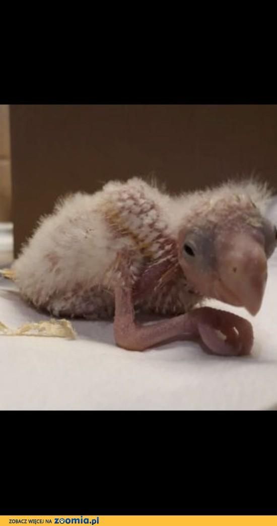 Papugi do ręcznego karmienia