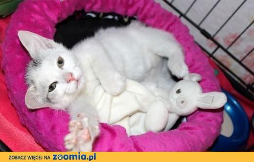 Półroczna piękna kotka Fruzia,  dolnośląskie Głogów