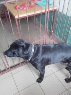 Labrador Czarli do adopcji - kolejny raz zawiódł człowiek