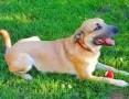 MAFIN - duży, piękny i kochany psiak; do adopcji