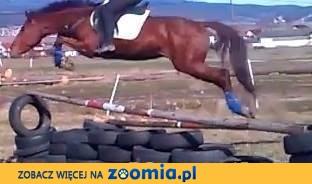 rewelacyjny ambitny i spokojny koń dla juniora.super ruch i tech skoku