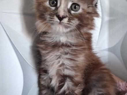 Cudne kociaki maine coon z prawdziwym rodowodem FPL!!!