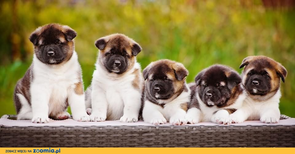 American akita puppies for sale!