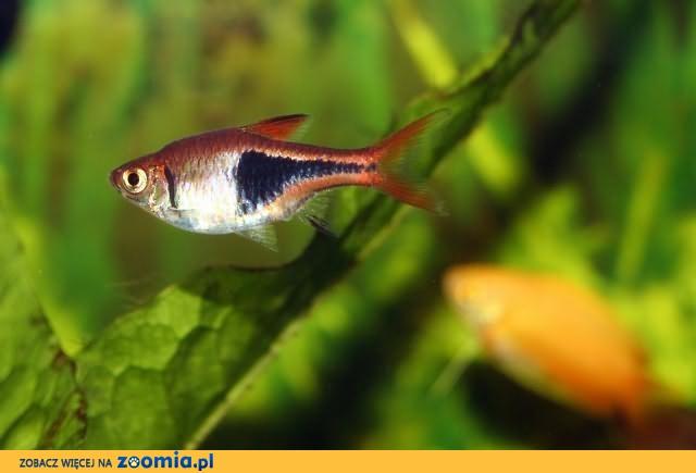 Rybki akwariowe – rozbora klinowa