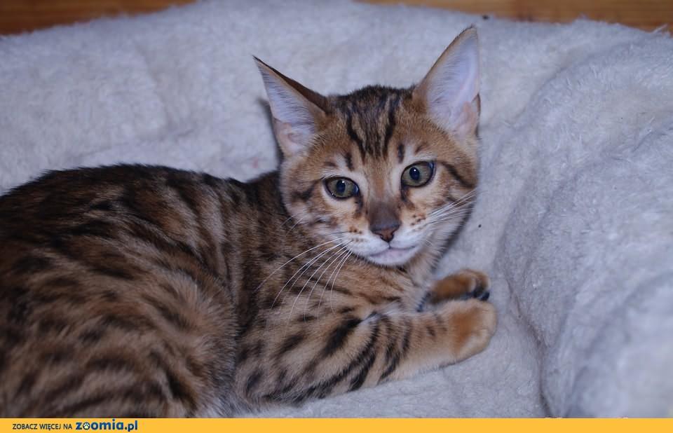 Piękne kotki bengalskie !