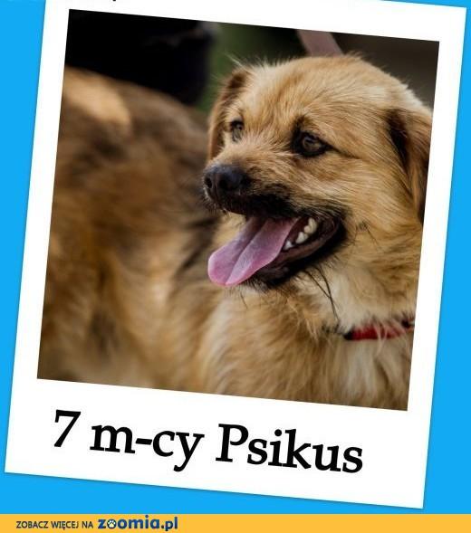 Przeuroczy psiak PSIKUS,młody 7 m-cy,mały 8 kg,aktywny,przyjazny,Adopcja.,  śląskie Katowice