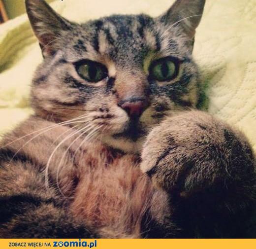 Wybitny Ogłoszenia: oddam kota, oddam kocięta – Koty i kociaki szukają CK42