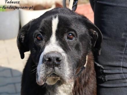 Tadeusz - starszy  duży pies