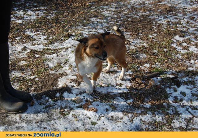 Kapsel, młodziutki i niewielki psi przyjaciel szuka domu!