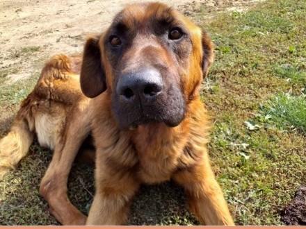Duży mądry zjawiskowy LEON pies w typie leonbergeraPILNA ADOPCJA!    łódzkie Łódź