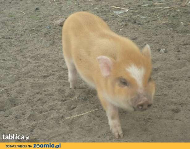 mikro swinka angielska,mini pig