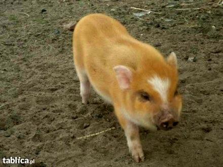 mikro swinka angielska mini pig