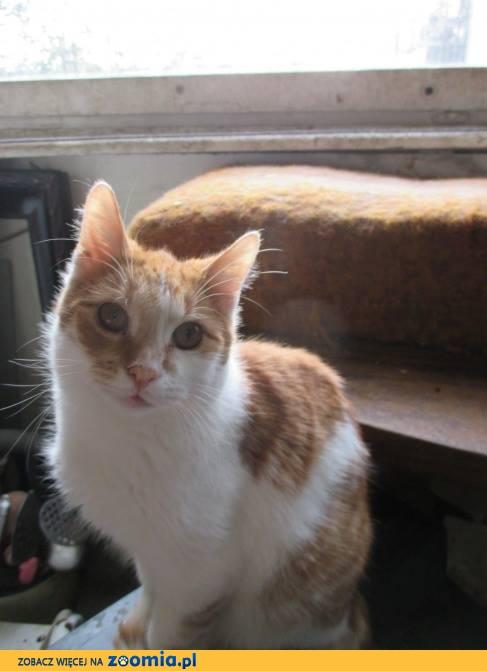Przepiękny biało-rudy kochany kocurek szuka domu!