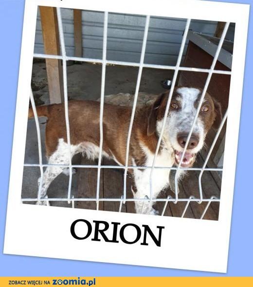 ORION ,dla aktywnych,wyżeł mix,młody, przyjazny,duży pies .ADOPCJA !,  dolnośląskie Wrocław