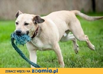 YOKO - 4 letni psiak w typie labradora, idealny dla aktywnych!