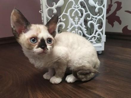 devon rex LARA Sweet Devon kotka wychowana z dziećmi