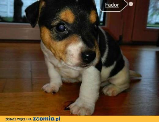 Jack Russell Terrier,  wielkopolskie Konin