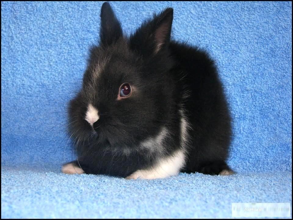 Króliczek miniaturka czarno-biały