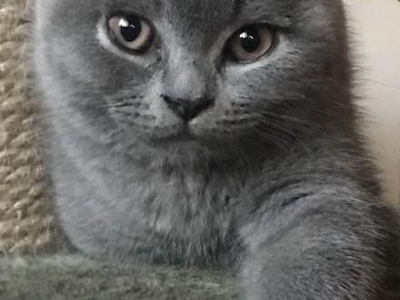 Kot brytyjski krótkowłosy niebieski  kocięta