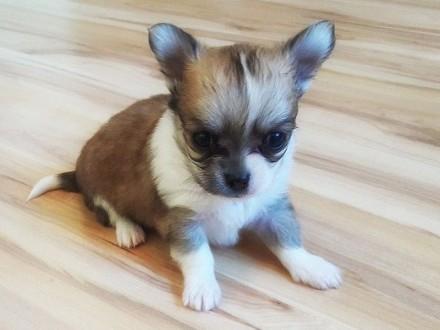 Piękne Chihuahua - Malutkie szczenięta z rodowodem