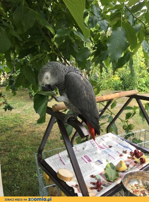 Zaginęła szara papuga żako z czerwonym ogonem w Opolu