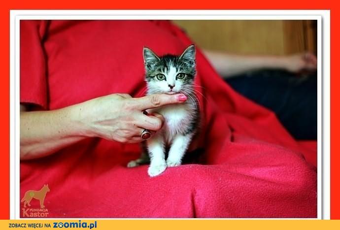 Kociętak,kocurki,małe kotki,odrobaczone z domu tymczasowego.ADOPCJA