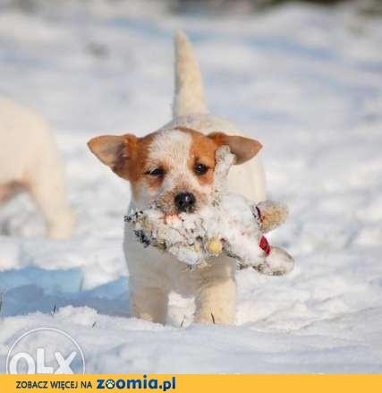 Jack Russell Terrier - suczki  FCI