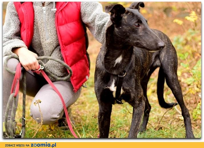 1 rok,chart mix, łagodny,przyjazny,kontaktowy,szczepiony pies BOL_ Adopcja_