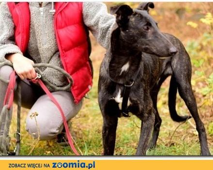 1 rok chart mix  łagodny przyjazny kontaktowy szczepiony pies BOL_ Adopcja_