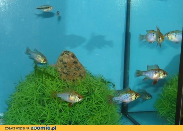 Ramineza ładne ryby akwariowe.Sklep GREMI Białystok